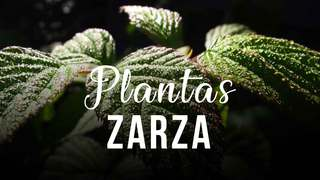 Zarza