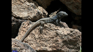 Los dragones de Canarias